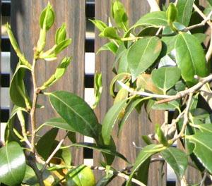 ツバキの葉
