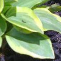 ギボウシ(擬宝珠)の葉