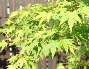 イロハモミジの葉