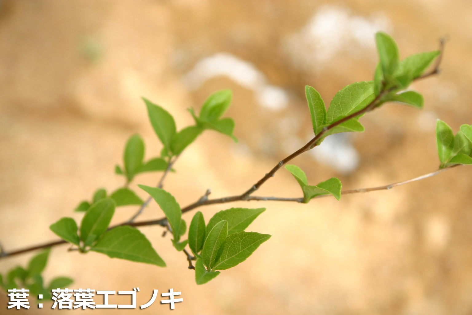 エゴノキの葉