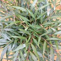マホニアコンフューサの葉