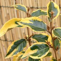 ギルトエッジの葉