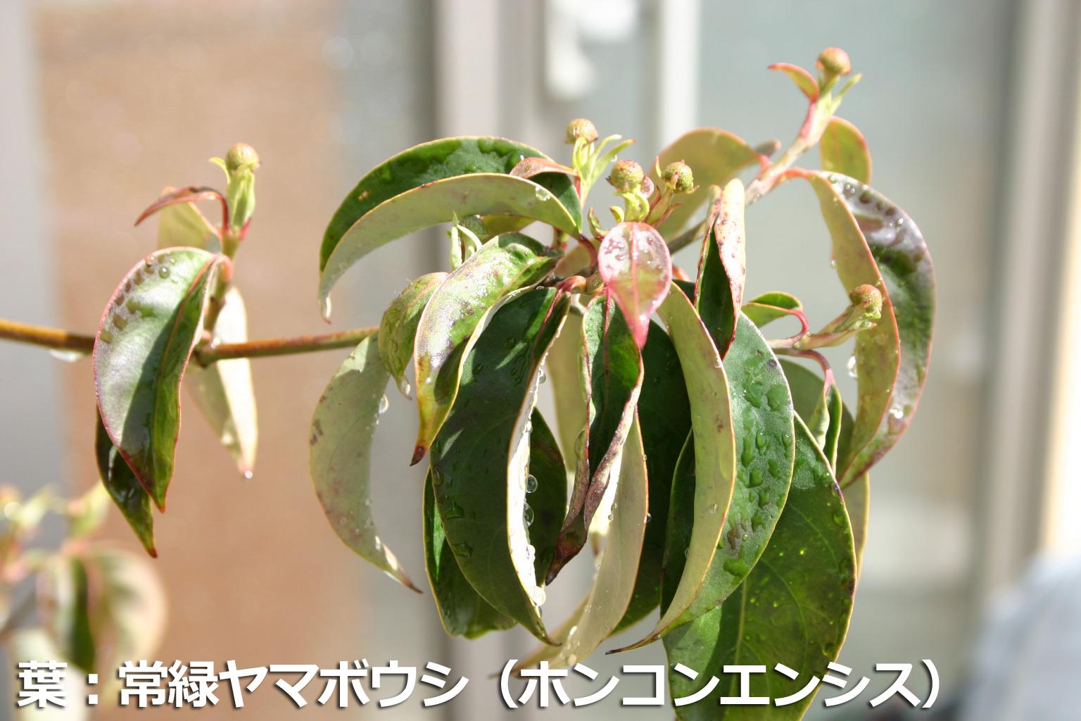 ホンコンエンシスの葉
